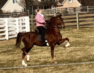 Horses For Sale – Scottfield Stables